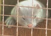 ABD: Hayvan Eylemcileri 1.800 Vizonu Serbest Bırakmakla Suçlanıyor