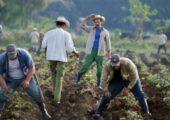 Kübalı çiftçiler tatlı patates ekiyorlar