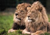 """Güney Afrika: Aslanlar Avcıyı """"Ölü Ele Geçirerek Etkisiz Hale Getirdi"""""""
