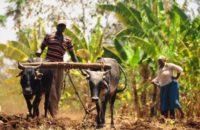 Tohum Mühendisliği ve Küresel Piyasalara Bakış, Afrikalı Çiftçileri Neler Bekliyor?